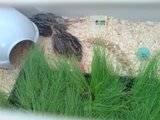 My quailies settling in Th_DSC00147