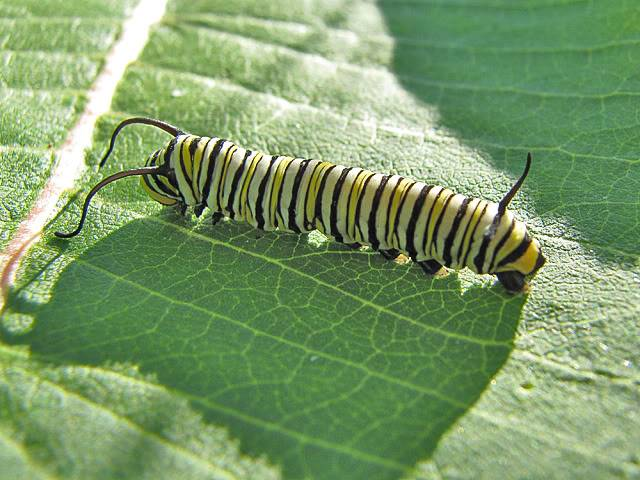am i the only one that thinks caterpillars are cute? Monarch04