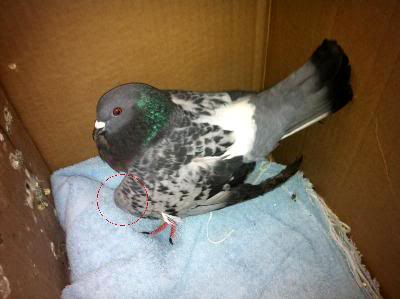 Pigeon with broken or dislocated wing !!! AnnMariesPij