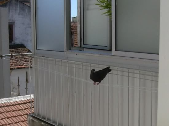 Balcony Pigeon Talent Contest DSCNB1501-r550