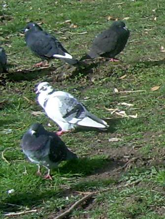 This pigeon portrait has not been manipulated, really ! DSCNB4641-ccc