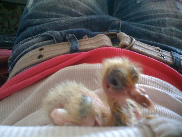 Handrearing crop issues - 2 wk old baby pigeon 10days3-019