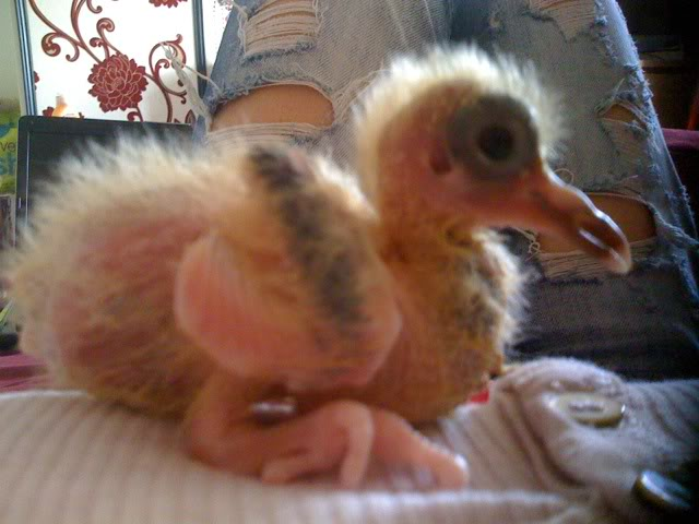 Handrearing crop issues - 2 wk old baby pigeon 10days5