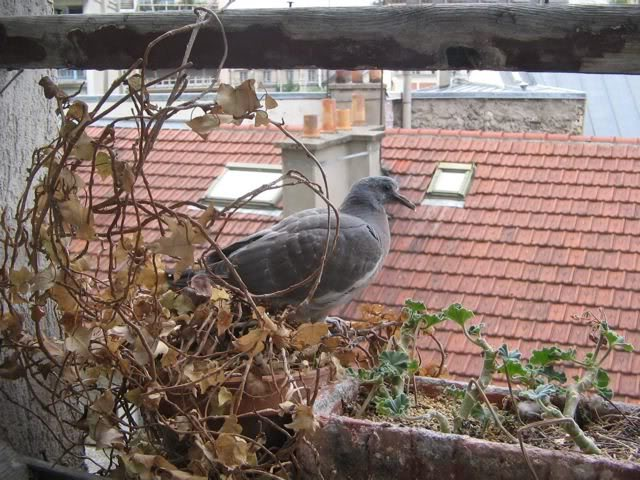 How old is this pigeon? And what should I be doing? Jane-Hope-20days