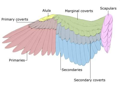 could you help me Wing-anatomy