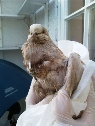 Help please - Found a poorly Pigeon with lumps on its chest Pijy