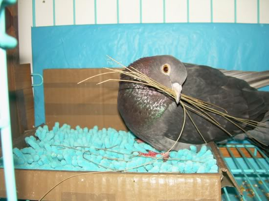 Help needed - Pigeon not getting any better  DSCNB6154-r550