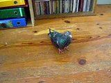Rescued another pigeon, perhaps with PMV :( - Page 6 Th_DSCNB4297