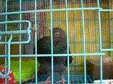 Rescued another pigeon, perhaps with PMV :( - Page 6 Th_DSCNB5035-Sam