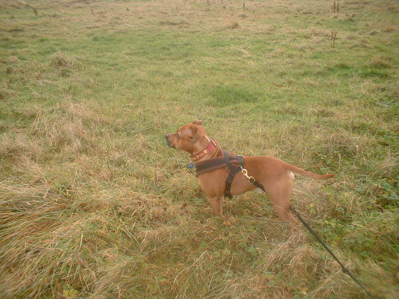 Fleece lined collars, leads and harnesses Dukeonthefield041207002