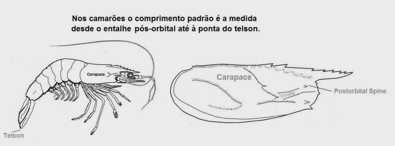 O comprimento dos peixes / camarões Camaroesmedida