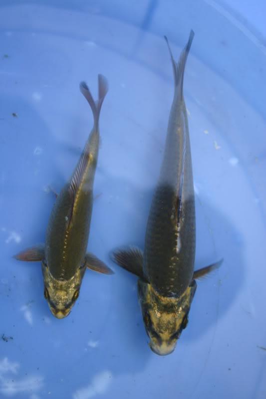 Development of koi Fish015