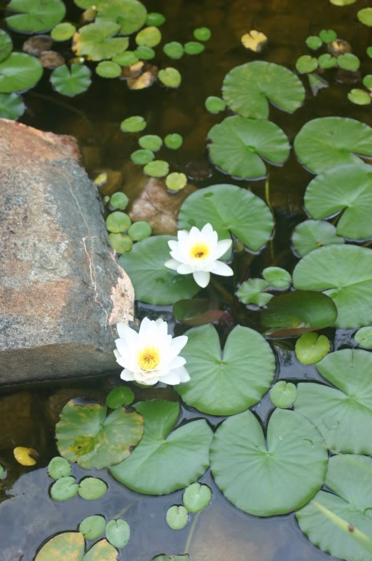 Water lillies Fish019-1