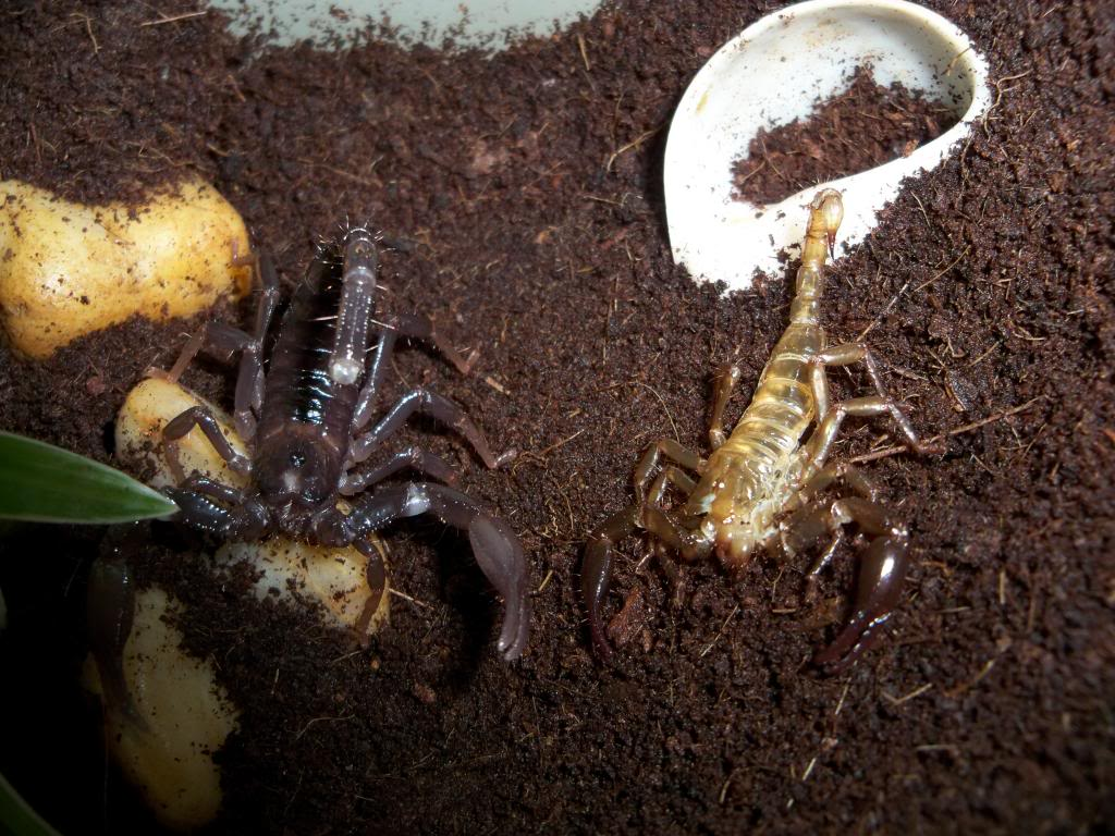 Who molted today? (Scorpion molting pics) - Page 3 100_5767