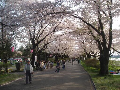 Festivalul florilor de cires -Sakura hanami Kitakamisakura06