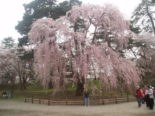 Festivalul florilor de cires -Sakura hanami Weepingcherrytree