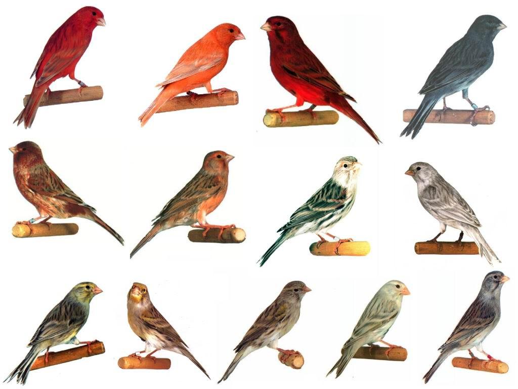 Canários de Côr Canariestype1