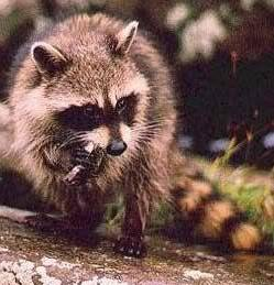 Destroy the picture above! Raccoon