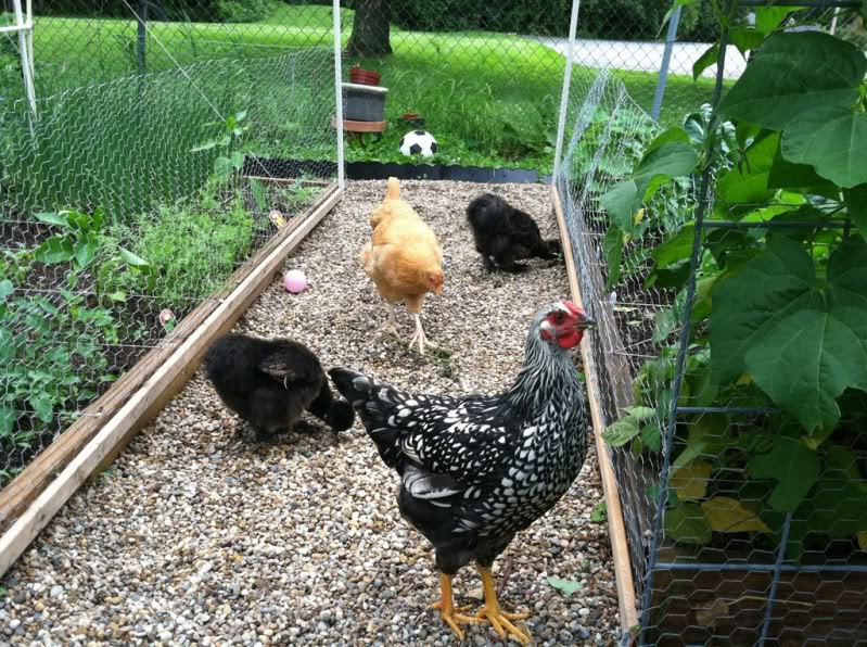 Chickens are funny! 97ebf641