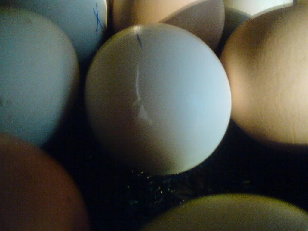 pipped eggs DSC00611