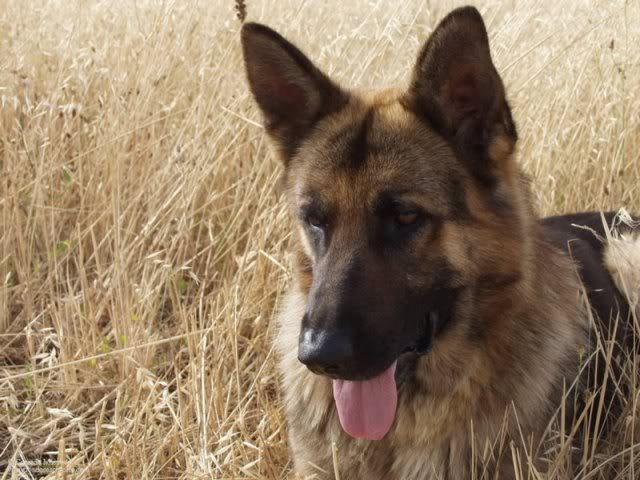 Wuff Like A Dog(Stray dogs)Semlit Accepting GermanShepherd