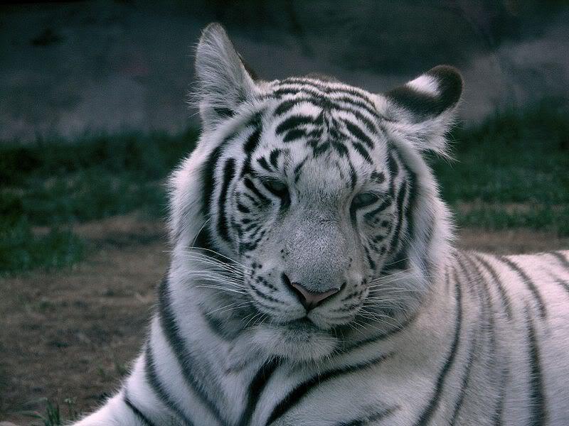 \~~~\White tiger/~~~/ 800px-White_tiger