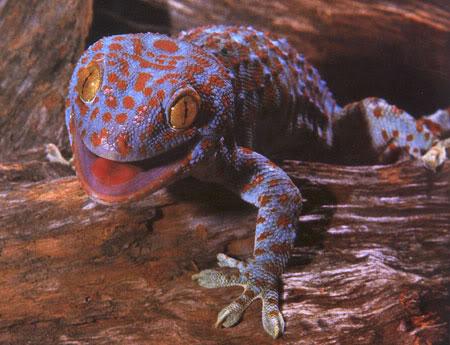 Ficha Gecko tokay. Tokay_geckoB