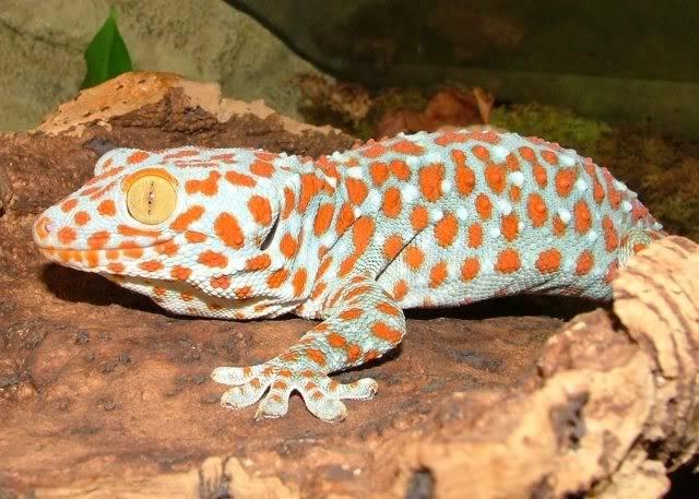 Ficha Gecko tokay. Tokay3