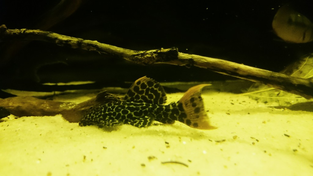Pseudacanthicus leopardus (Fowler, 1914) - L114  _20150601_215944_zpsv6i56u1k