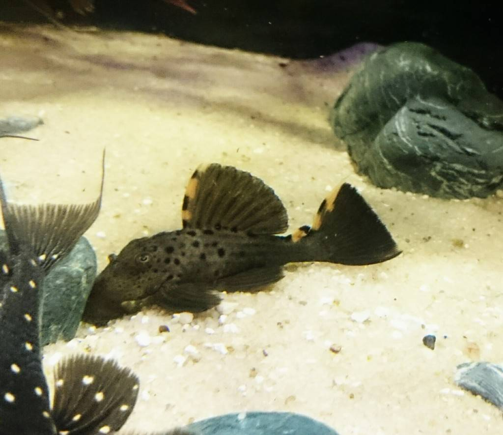 Leporacanthicustriactis(L91) Isbrücker, Nijssen & Nico, 1992 _20160529_135804_zpsgui5yidt