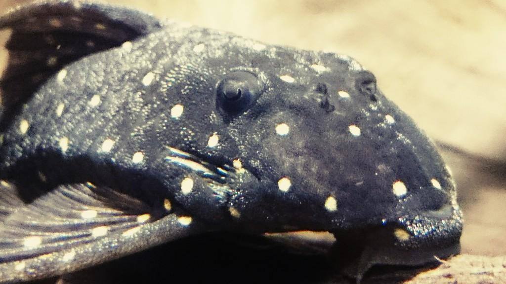 Panaqolus albomaculatus (Kanazawa, 1958) - LDA031, Mustard Spot Pleco _20160702_001122_zpsapucvvxq