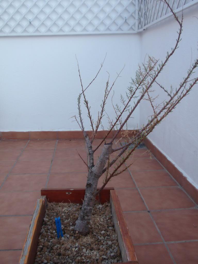 Tamarix canariensis, Por donde empiezo P2020091