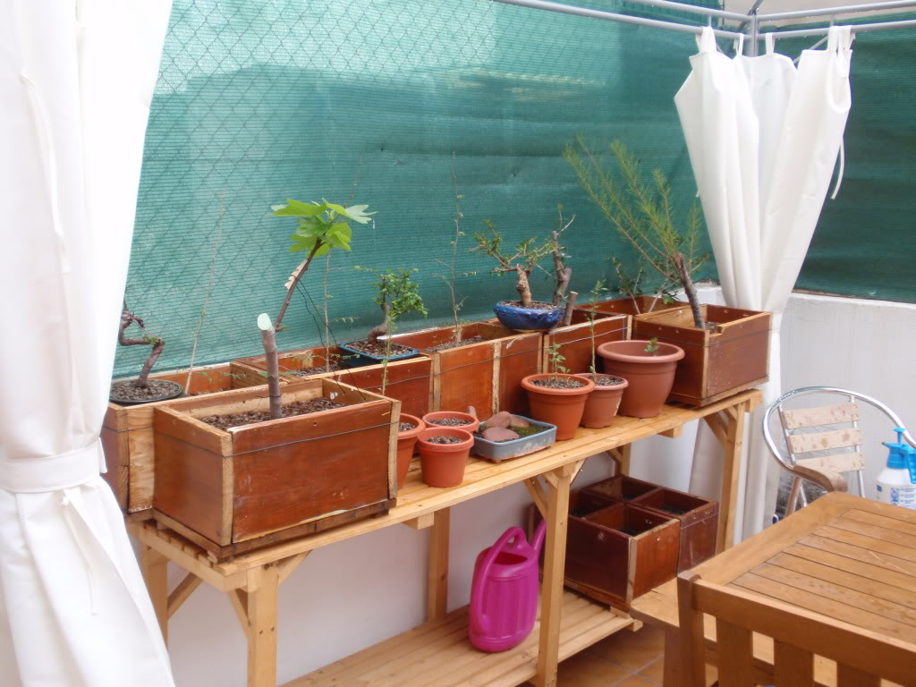 Mi estanteria de bonsais P4060887