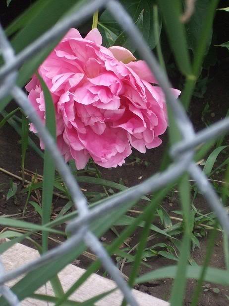 மீனு தரும்  ரோஜா மலர்கள் உங்களுக்காக... ROSE