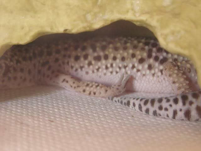 my leopard geckos P1010038