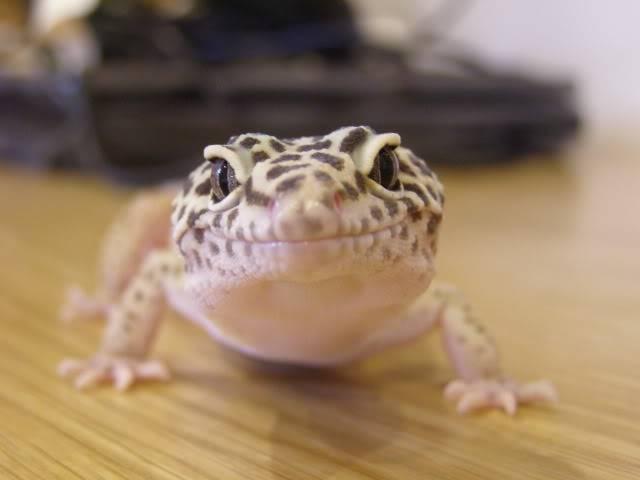 my leopard geckos P1010343