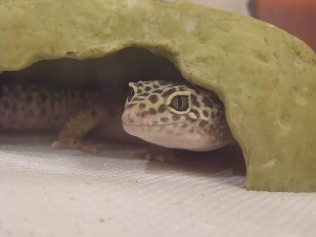 my leopard geckos P1010345