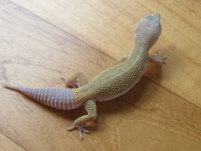 my leopard geckos P1010707-1
