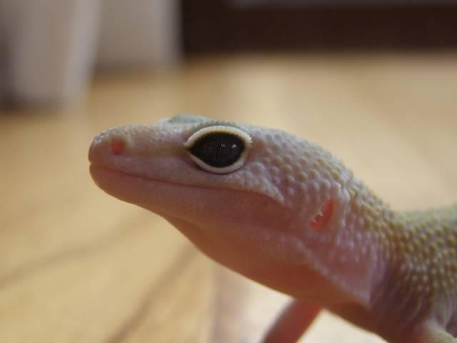 my leopard geckos P1010709-1