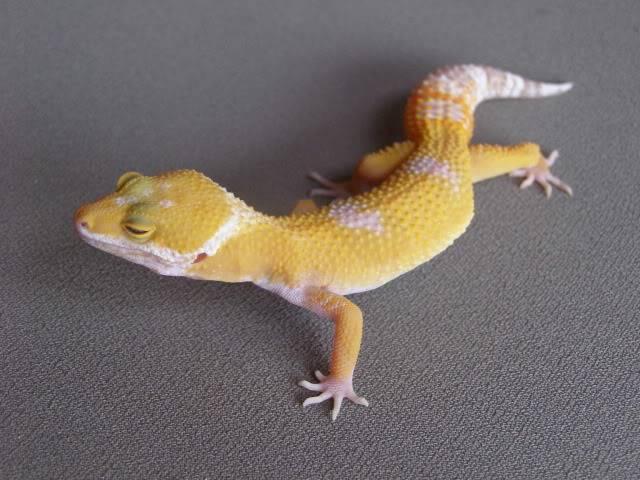 my leopard geckos P1010716