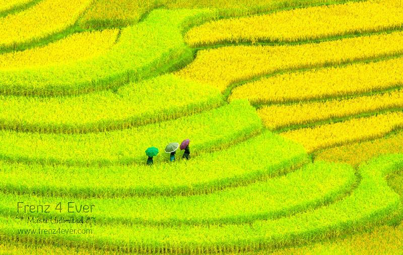 Beautiful Terraced Rice Fields Terraced-Rice-Fields-7_zpsb4e7e750