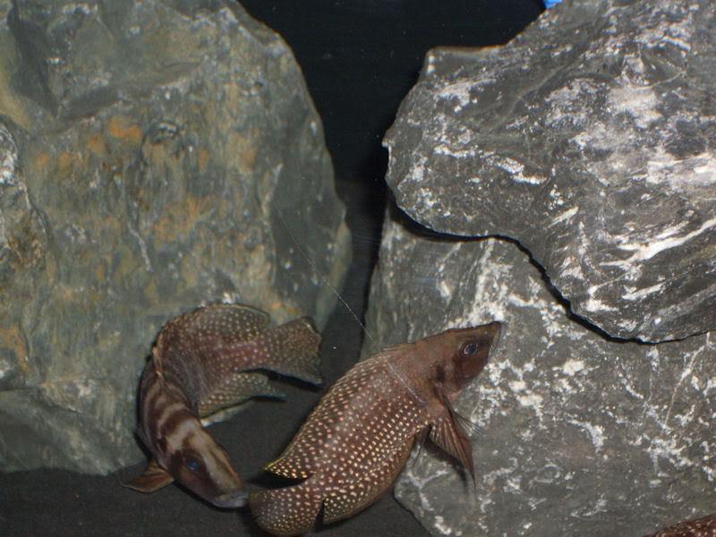 Altolamprologus calvus Black Zambian MaleandFemale3-7-091