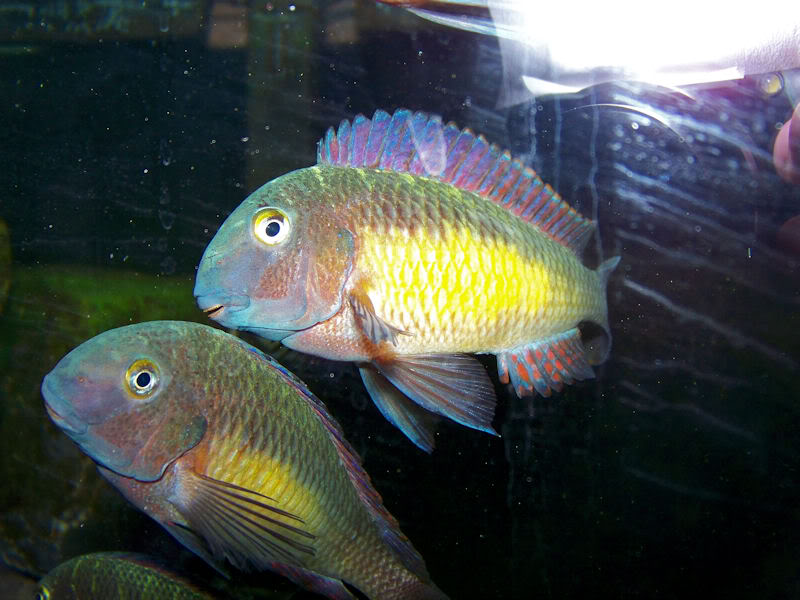 "Tropheus moorii Kantalamba ""Red Rainbow"" 2-25-105"