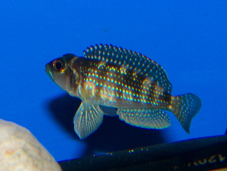 'Lamprologus' stappersii TangIDproof