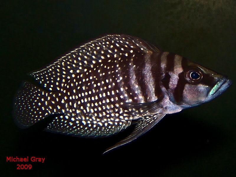 Altolamprologus calvus Black Zambian Calvus10-09-1