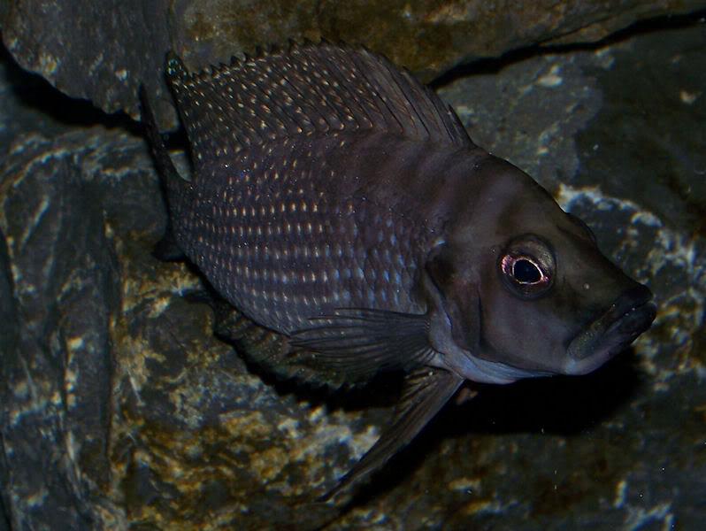 Altolamprologus calvus Black Zambian Calvus7-25-09