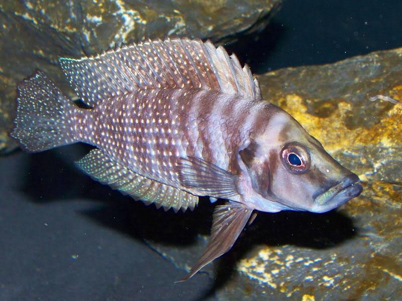 Altolamprologus calvus Black Zambian Calvus7-25-092