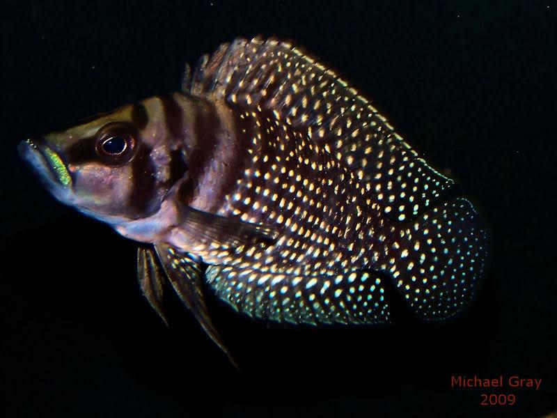 Altolamprologus calvus Black Zambian Calvus8-8-091-1