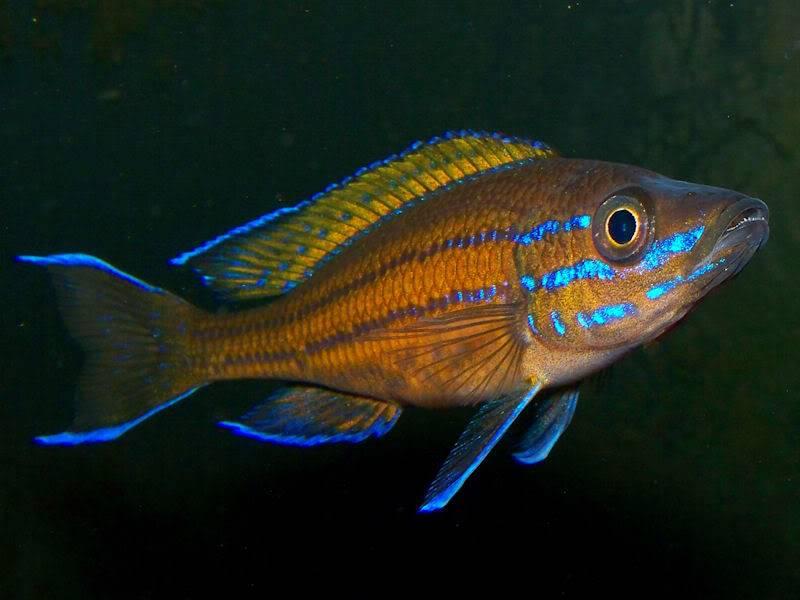 Paracyprichromis nigripinnis Closeup