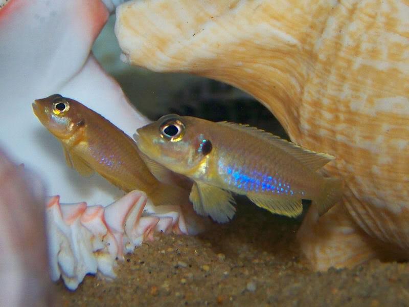 'Lamprologus' ocellatus Gold Goldoccie2